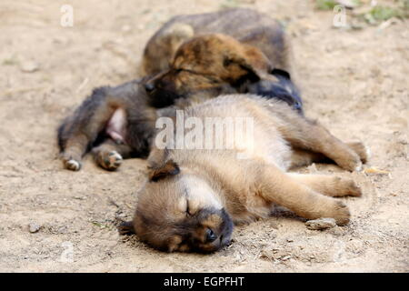 Three puppy dogs sleeping on the floor of a street in the old city area. Dhulikhel-Kavrepalanchok district-Bagmati - Stock Photo