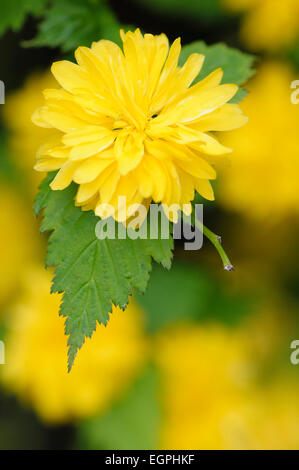 Japanese rose, Kerria japonica 'Pleniflora', Close view of one yellow flower with othes soft focus behind. - Stock Photo