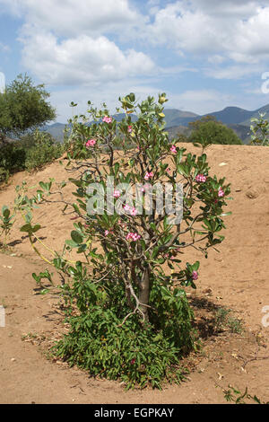 Desert-rose in the south of Ethiopia, Africa - Stock Photo