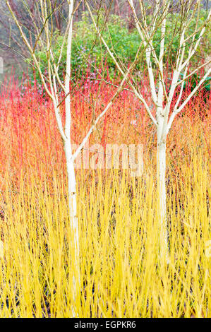 Birch, Himalayan birch, Betula utilis var, jacquemontii, 2 small trees in a bed of bare orange and yellow shrub - Stock Photo