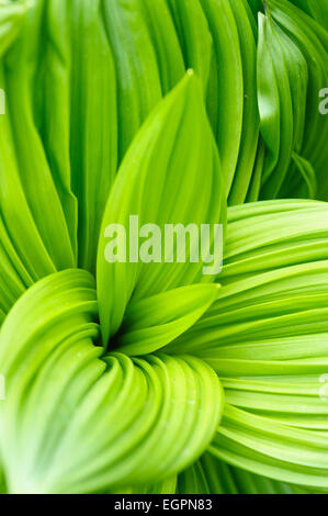 Black false hellebore, Veratrum nigrum, Bright green ribbed large leaves creating a pattern. - Stock Photo