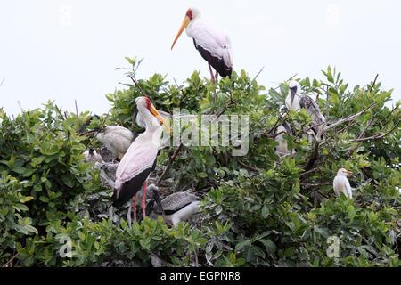 Yellow-billed stork breeding colony in Botswana - Stock Photo