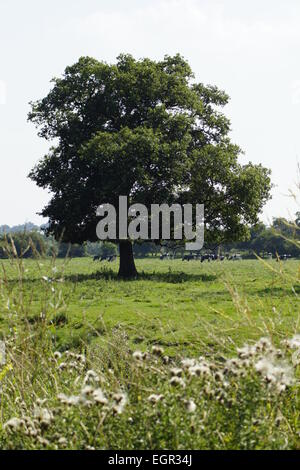 Oak (?) tree in field, with what looks like the side profile of a face. - Stock Photo