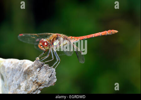 male common darter dragonfly Sympetrum striolatum - Stock Photo