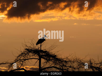 Marabou stork perched on top of tree at sunset - Stock Photo