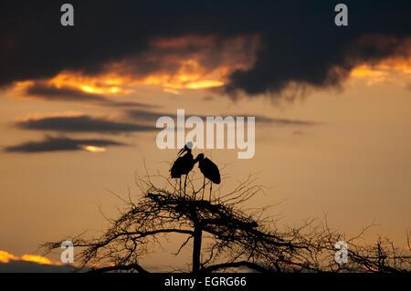 Marabou storks perched on top of tree at sunset - Stock Photo