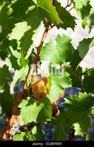 Grapes : Moscatel De Grano Menudo. Nevarra. - Stock Photo