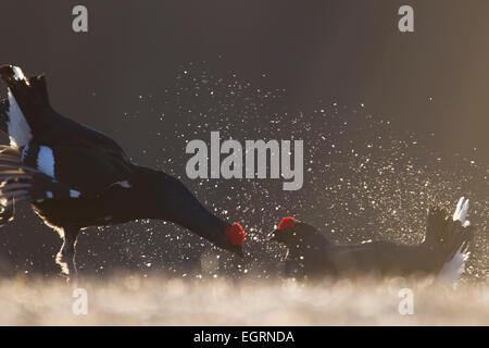 Black Grouse Lyrurus tetrix males fighting at lek site in Kuusamo, Finland in April. - Stock Photo
