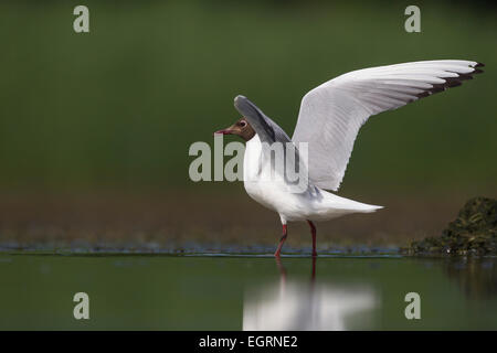 Black-headed gull Chroicocephalus ridibundus, adult, Lake Csaj, Hungary in June. - Stock Photo