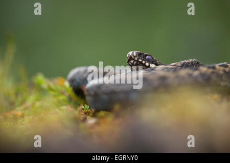 Common adder Vipera berus (controlled conditions), adult male, coiled amongst heathland vegetation, Arne, Dorset, - Stock Photo