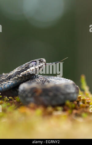Common adder Vipera berus (controlled conditions), adult male, scenting with forked tongue, Arne, Dorset, UK in - Stock Photo
