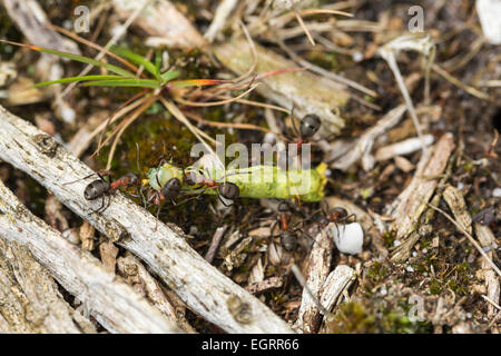 Red wood ant Formica rufa, soldiers with caught caterpillar prey, dragging back to nest, Arne, Dorset, UK in May. Stock Photo