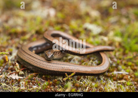 Slow worm Anguis fragilis (controlled conditions), adult female, on heathland vegetation, Arne, Dorset in May. - Stock Photo