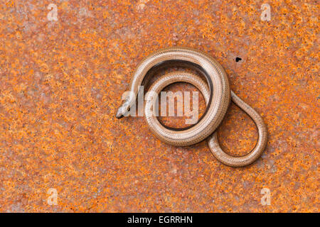 Slow worm Anguis fragilis (controlled conditions), adult female, coiled on rusty wartime metal, Arne, Dorset in - Stock Photo