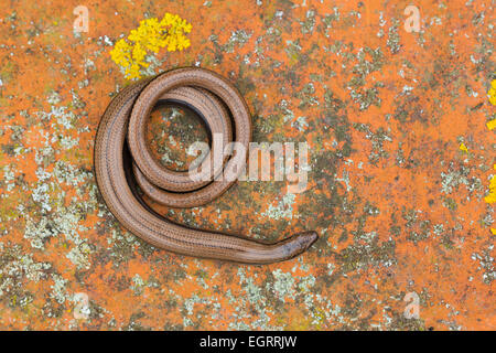 Slow worm Anguis fragilis (controlled conditions), adult female, coiled on a lichen covered tile, Arne, Dorset in - Stock Photo