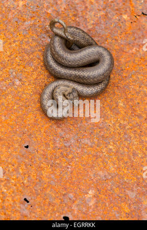 Smooth snake Coronella austriaca (under licence), adult male, coiled on rusty metal sheet, Arne, Dorset in May. - Stock Photo
