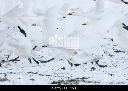 Whooper Swan Cygnus cygnus, flock taking off at Welney, Norfolk, UK in November. - Stock Photo