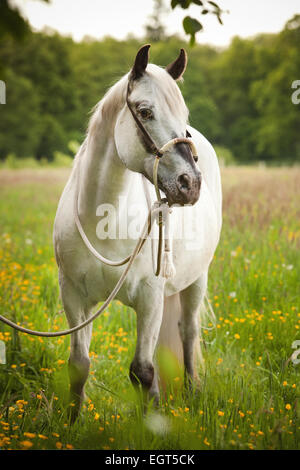 POA, Pony of the Americas, mare in foal, white horse wearing a Bosal hackamore, a bitless bridle used in Western style riding