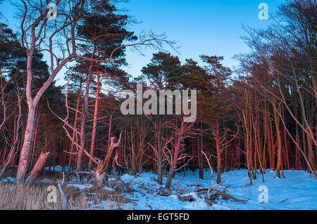 Darßwald wood in winter, Darß peninsula, West Coast, Western Pomerania Lagoon Area National Park - Stock Photo