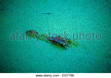 A crocodile in the Kakadu National Park, Northern Territory, Australia. - Stock Photo