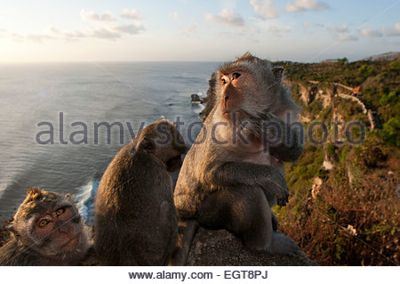 Monkeys along the cliffs next to the Ulu Watu temple Pura Luhur. Bali. Uluwatu Temple is a Hindu temple set on the - Stock Photo