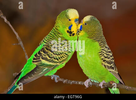 Two Green Budgies Kissing - Stock Photo