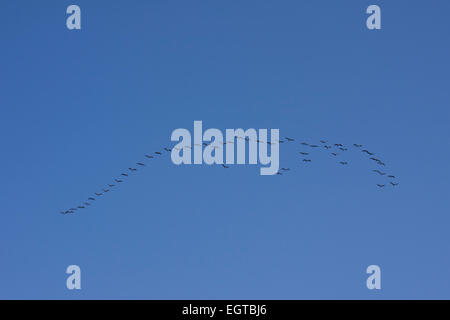 Greylag Geese (Anser anser), wild geese in flight against blue sky. Mecklenburg-Western Pomerania, Germany, Europe - Stock Photo