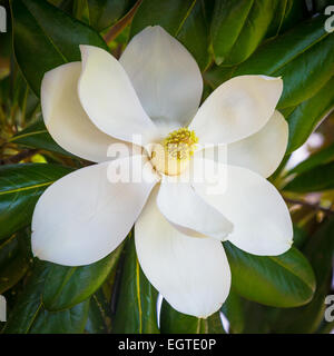 Magnolia flower in Natchitoches, a city in and the parish seat of Natchitoches Parish, Louisiana, United States - Stock Photo