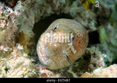 barred-fin moray, bar-tail moray, or zonipectis moray (Gymnothorax thyrsoideus) Bohol Sea, Philippines, Southeast - Stock Photo