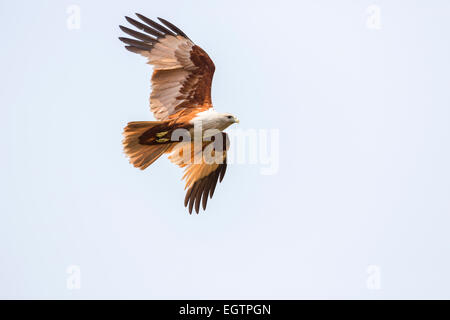 Brahminy kite (Haliastur indus) or red-backed sea-eagle, in flight in Cochin, Kerala, southern India - Stock Photo