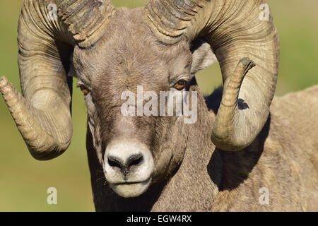 A close up portrait view of a bighorn ram  Orvis canadensis, taken in fall sunlight. - Stock Photo