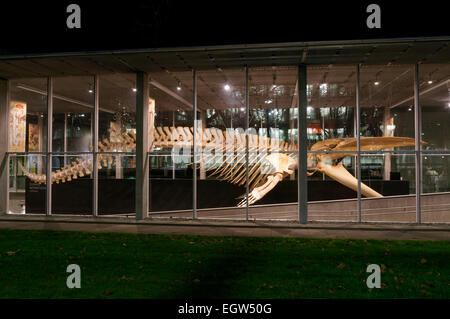 Complete blue whale skeleton at night, Beaty Biodiversity Museum, University of British Columbia, , Vancouver, BC, - Stock Photo