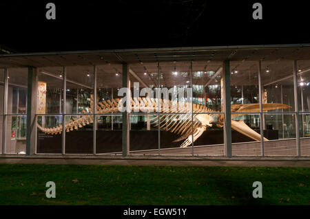 Complete blue whale skeleton at night, Beaty Biodiversity Museum, University of British Columbia, Vancouver, Canada. - Stock Photo
