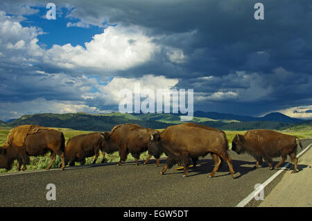 Bison crossing road, Yellowstone National Park, Wyoming. - Stock Photo