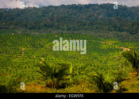 Newly planted oil palm trees at a palm plantation in North Sumatra province, Indonesia. © Reynold Sumayku - Stock Photo