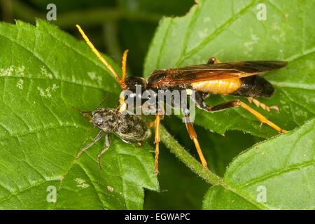 Field Sawfly, Feld-Blattwespe, Feldblattwespe, Blattwespe, Tenthredo campestris - Stock Photo