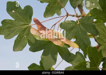 field maple hedge maple fruit feld ahorn feldahorn. Black Bedroom Furniture Sets. Home Design Ideas