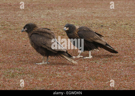 Pair of Striated Caracara standing on ground Falkland Islands - Stock Photo
