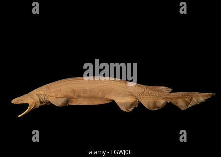 Frilled shark (Chlamydoselachus anguineus) Picture was taken in cooperation with the Zoological Museum University - Stock Photo