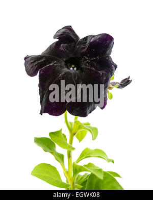 blooming black petunia flower is isolated on white background, closeup - Stock Photo