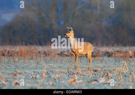Roe deer in early winter morning - Stock Photo