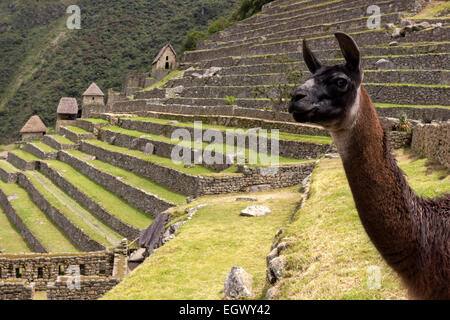 Llama in ruins of Machu Picchu in Peru - Stock Photo