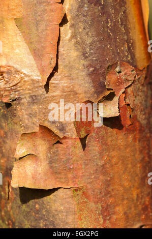 Interesting flaking peeling layers of colorful bark of paperbark Maple tree in sunshine showing texture and thin - Stock Photo