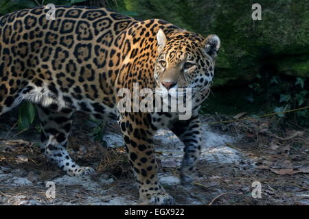 Female South American  Jaguar (Panthera onca), close-up of the head - Stock Photo