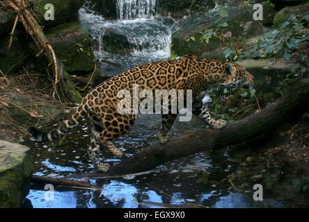 Female South American  Jaguar (Panthera onca) crossing a forest stream - Stock Photo