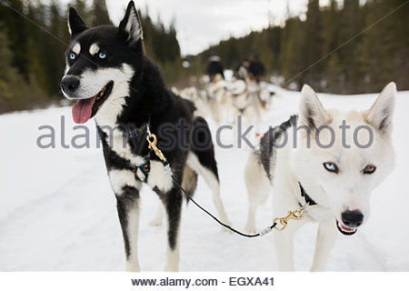 Close up of lead dogsled dogs - Stock Photo