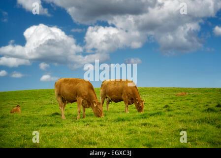 Cows grazing in pasture. Ireland. - Stock Photo