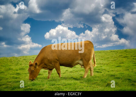 Cows grazing in pasture. Ireland. - Stock Photo