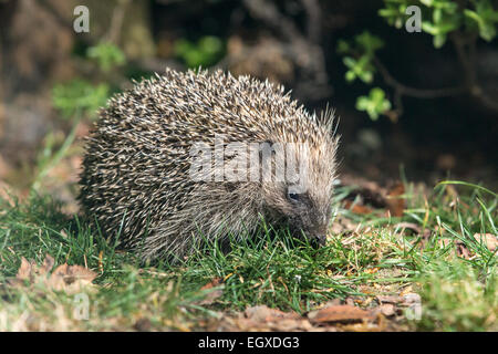 Hedgehog (Erinaceus europaeus) foraging for food in short grass - Stock Photo