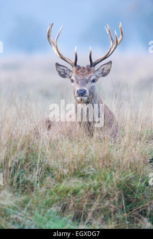 Young Red Deer (Cervus elaphus) stag laying in grassland - Stock Photo